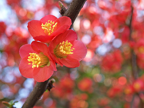 plants-Japanese Flowering Quince