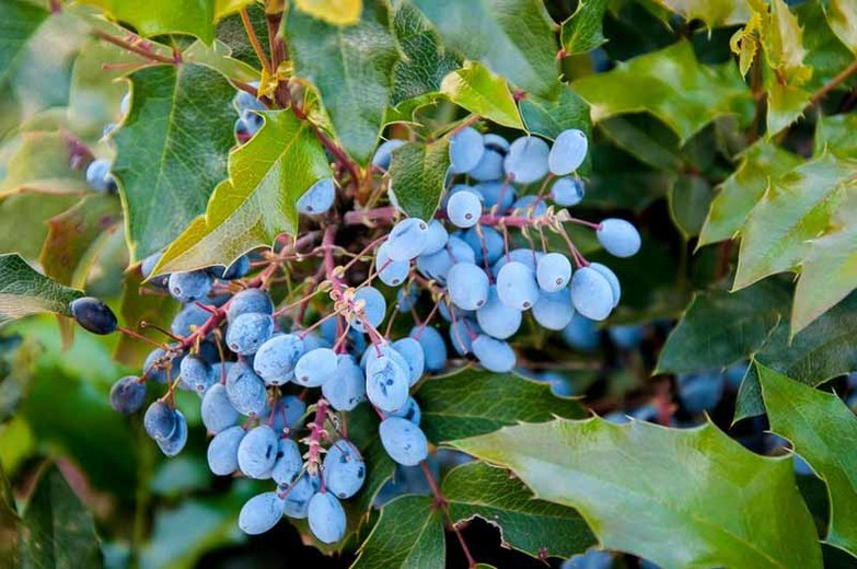 plants-Oregon Grape Holly
