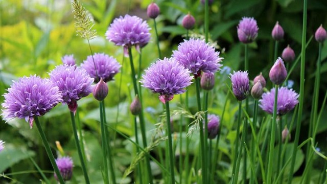 herbs-chives