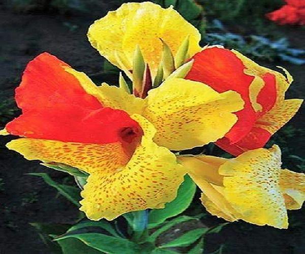 canna-lily